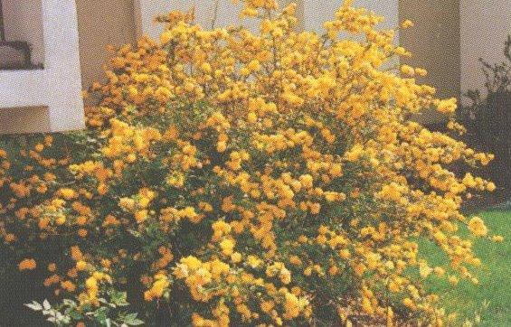 Arbusto Fiori Gialli Primavera  Gpsreviewspot