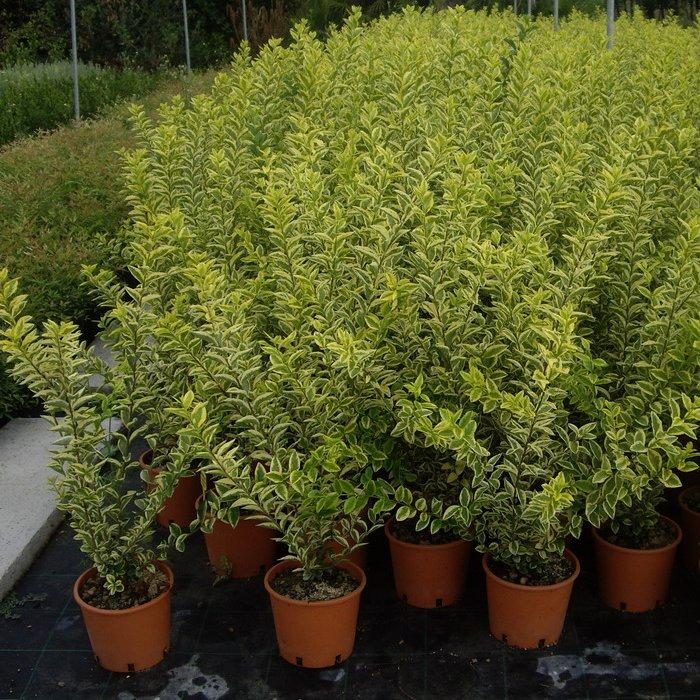 Azienda agricola vivaistica triangolo verde vivai i for Ligustro siepe