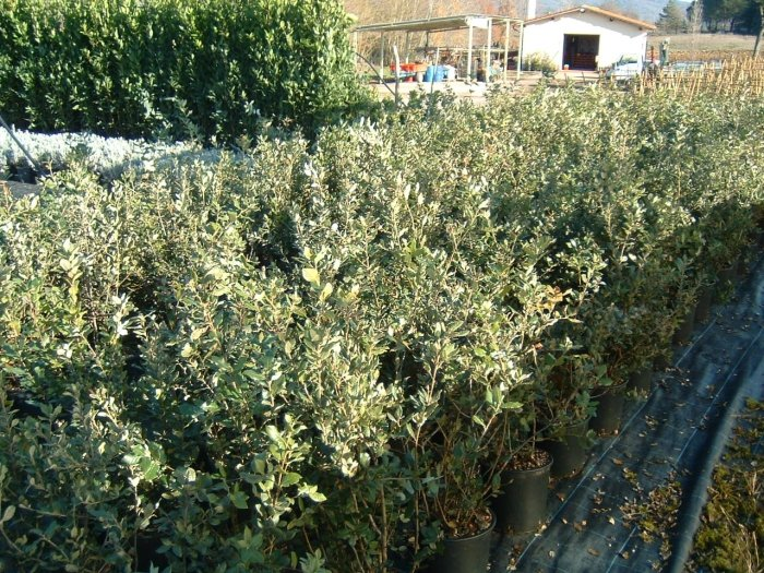 Azienda agricola vivaistica triangolo verde vivai i for Piante siepe sempreverde
